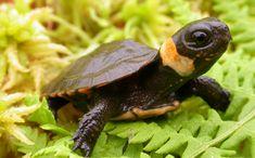 Naturalistic keeping and breeding of Hermanns Tortoises
