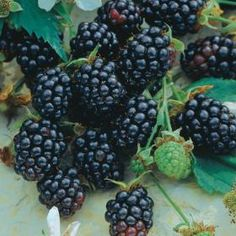 Thornless Blackberries - Thornless Blackberry Plants For Sale Blackberry Plants, Blackberry Bush, Fruit Garden, Edible Garden, Vegetable Garden, Garden Plants, House Plants, Organic Gardening, Raspberries