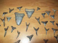 Venice Beach Florida is the shark tooth capital of the world. Scuba diving for shark teeth.