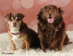 Dixie & Thelma politely ask for your consideration.  They need a loving home where they can remain together forever.  Both are housetrained, good with other dogs and about 8-9 years of age.  Dixie is a Chihuahua and Thelma is a chocolate Pomeranian & Toy mix.  The girls are soul-mates and awaiting adoption at Nevada SPCA (www.nevadaspca.org).  Special thanks to Pet'ographique (www.petographique.com) for their incredibly sweet portrait.