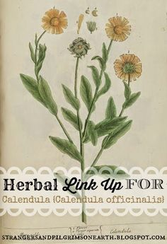 Strangers & Pilgrims on Earth: About Calendula {Information, Recipes, DIY's} ~ Herbal Link Up