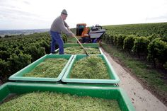 The wine harvest starts in Germany´s largest wine-growing area Rheinhessen every year at the end of September.