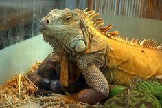 The Green Iguana is a popular lizard found in almost all pet stores.  Learn how to take care of them with this green iguana care sheet.