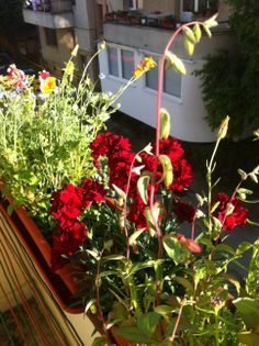 Florile din balconul meu...