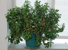 Jade Plant, want it! Ceramic Decor, Ceramic Planters, Herb Garden, Home And Garden, Crassula Ovata, Jade Plants, Topiary, Houseplants, Feng Shui