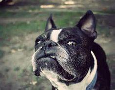 funny boston terriers | boston terrier funny 1 ibostonterrier content uploads boston terrier ...