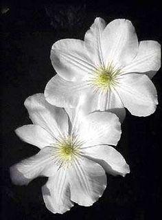 Clematis varieties for cut flowers