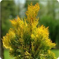 'Forever goldie' arborvitae adds coppery highlights in winter Thuja Landscaping Shrubs, Front Yard Landscaping, Arborvitae Tree, Online Plant Nursery, Foundation Planting, Mean Green, Winter Photos, Landscape Plans, Large Plants
