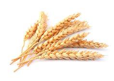 El trigo se ha convertido, junto con el maíz y el arroz, en uno de los cultivos más importantes del mundo. Sin embargo, debido a los requerimientos de la industria alimentaria, el trigo actual poco tiene que ver con la cepa original