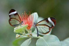 vlinder glasvleugel 2