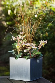 Pot for January colour: Hellebores and Carex  buchananii. Photo by Paul Debois. To see how this pot was made, visit http://www.gardenersworld.com/plants/gaultheria-procumbens/3247.html