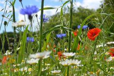 Wildflowers - cornflowers and poppies