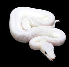 Blue Eyed Leucistic Ball Python- White with blue eyes! Beautiful! Want! <3