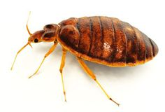 Bedbugs are small reddish-brown colored parasites about the size of a ladybug that can infest your home and bite sleeping humans. The most common type is **Cimex lectularius**.