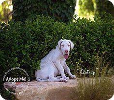 Greatdane Puppy Adoption Great Dane Kitten Adoption