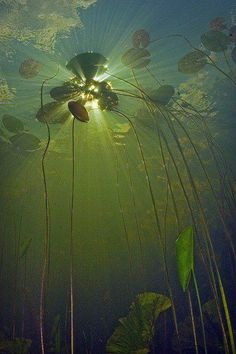 lilies as seen from below the surface.