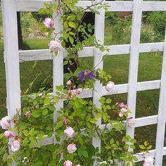 Underbart när växterna finner varandra. Här en av de rosor jag tagit som #stickling tillsammans med okänd #clematis #odla #trädgård #mygarden #wexthuset #flowers #hage #hemodlat #blommor #minträdgård