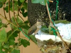 This is story of how a man-made hummingbird's nest was fashioned to save a hummingbird family from near disaster. The original nest was infested with bird mites which drove the baby chicks to abandon their nest. One of the baby hummers fell to the. Flowers That Attract Hummingbirds, Humming Bird Feeders, Humming Birds, Hummingbird Nests, Baby Chicks, Hummer, Bird Houses, Yard, Feathers