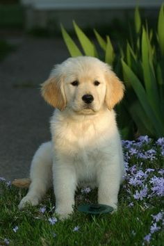 A Golden Retriever puppy looking...well, Golden. My 2nd favorite animal, dogs in general