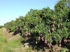 les arbres fruitiers africains - les manguiers