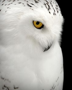 Snowy Owl portrait taken in Green Bay, WI. Beautiful Owl, Animals Beautiful, Scary Owl, Cute Owls Wallpaper, Animals And Pets, Cute Animals, Owl Photos, Owl Pictures, Alien Drawings