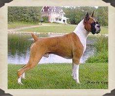 Boxer - Dog Breed Information