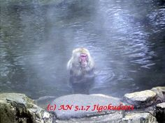 A snow monkey in Jigokudani (photo AN)