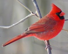 Pictures of Red Birds: Northern Cardinal