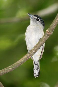 Caneleiro-bordado (Pachyramphus marginatus)