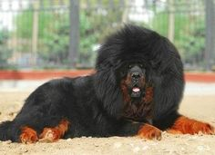 Discover The Courageous Big Mastiff Dogs Grooming Corgi Dog Breed, Mastiff Puppies, Dogs And Puppies, Doggies, British Mastiff, English Mastiff, Dogue Du Tibet, Black German Shepherd Puppies, Tibetan Mastiff Dog