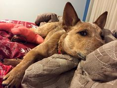 I'm trying to take my nap. Austrailian Cattle Dog, Blue Heelers, Cattle Dogs, Rat Terriers, Red Dog, Dog Rules, Dog Boarding, Working Dogs, Humane Society