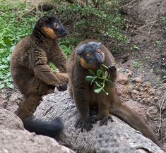 Red-collared brown lemur or red-collared lemur by Fred Hsu