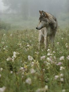 Morningdew and fog, a wolf in a flowerpatch. I love the contrast and somehow it reminds me of my boyfriend.