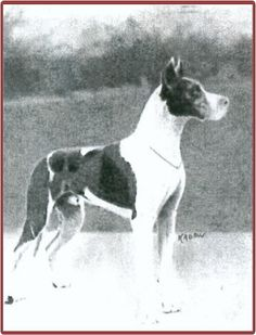"""Ador Viktoria, not a harl Dane, but a Black and Blue dane influenced by the """"s gene"""" - in other words, a mantle. His color was white, black and blue. Both his parents and ALL FOUR of his grandparents were blue carrier Harls. Ador Viktoria was born 1922 in Germany, and sold to Send Kennels in England. He was a VERY popular stud."""