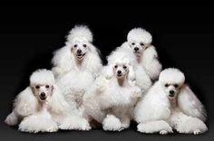 "White Poodles | Kennel ""von Surprise of White Star"" (GER) | via Snautz.de"
