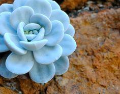 Wonderful blue color succulent