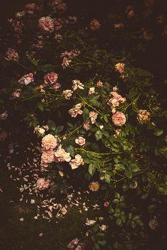 Stunning roses by gwagwa - Flickr - Photo Sharing!
