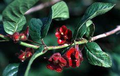 twinberry lonicera involucrata   Twinberry Honeysuckle (Lonicera involucrata), 8 ft., orange-red ...