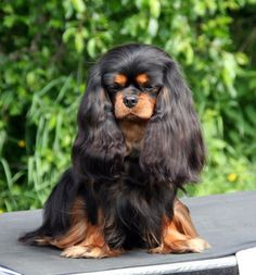 Some of the things I admire about the Smart Cavalier King Charles Spaniel Puppies Spaniel Breeds, Spaniel Puppies, Best Dog Breeds, Best Dogs, Cavalier King Charles Spaniel, King Spaniel, Dog Competitions, Puppy Facts, Lhasa Apso