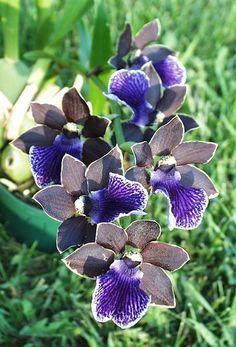 Zygopetalum Imagination 'Chocolate Blueberry' x Zygo. Artur Elle 'Tanzanite'
