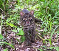 Iriomote cat  http://wwf.worldwildlife.org/images/friendraiser_uploads/1040.579603602.custom.jpg