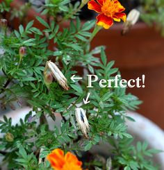 The Red Chair Blog: How To Save Marigold Seeds