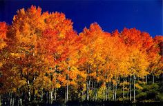 Oh the Aspens in Colorado are amazing! The contrast of the aspen and evergreens against the big blue sky will take your breath away