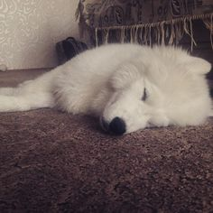 #North #puppy #samoyed #самоед #sleep #white
