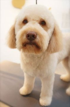 Ted - Labradoodle