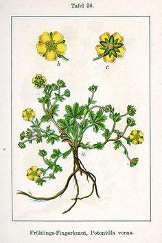 Potentilla neumanniana, Spring Cinquefoil