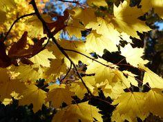 Glowing yellow maple leaves in Lithia Park, Ashland, Oregon