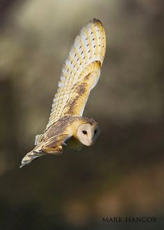 Barn Owl in Flight - There goes the Goblin King; He comin' in your window...hide your kids...