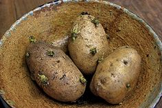 green sprouting potatoes
