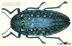 Sulphurous jewel beetle videos, photos and facts - Julodis ...